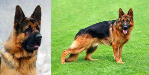 كلب الراعي الألماني جيرمن شيبرد