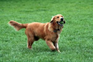 كلب جولدن_ريتريفر Golden Retriever