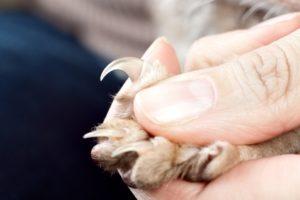 المنطقة الصحيحة لقص أظافر القطة في المنزل