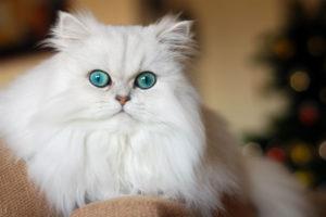 القطط الشيرازي تحتاج مجهودا مضافا للعناية بشعرها أكثر من القطط ذات الشعر القصير