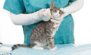 علاج جرب الأذن في القطط بجميع أنواعها