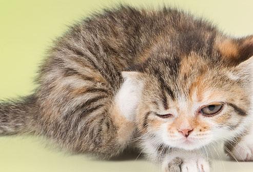 لا يجب تحميم القطط الصغيرة قبل عمر ثلاثة أشهر, لكن يمكن استخدام الدراي شامبو