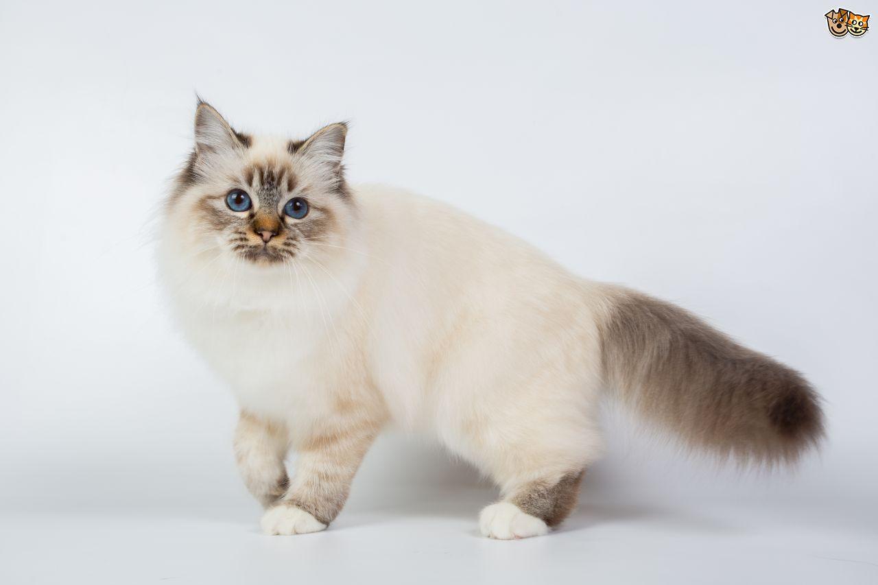 Purple Cat Breed