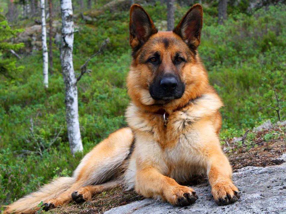 الحساسية الغذائية هي الأقل شيوعًا من الأنواع الأخرى، وعادة ما تنشأ هذه الحساسية نتيجة كثرة تناول الكلب للبروتين.