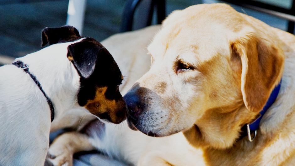 ستلاحظ أن الكلبين سيتقدمان بثقة ويقومون بتحية بعضهما البعض بدون أي مشاكل
