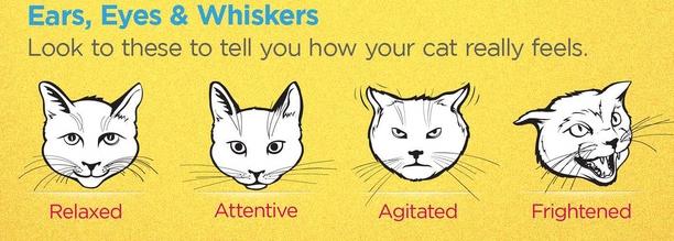 لغة الجسد في القطط: حركات الوجه والعينين والأذنين