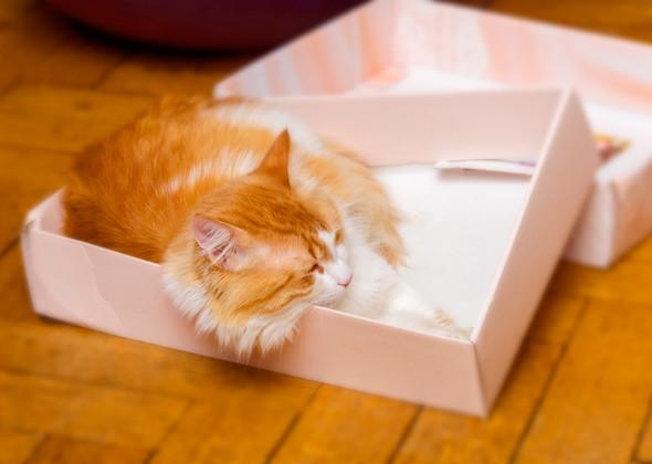 تنام القطط الشيرازي إلى مدة تصل إلى 16 ساعة يوميا كما قد تصدر القطط الشيرازي صوت الشخير المميز