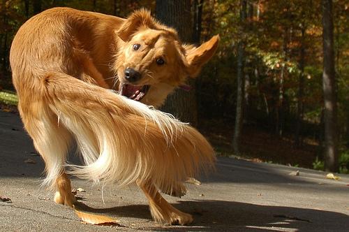 لماذا يقوم الكلاب بمطاردة ذيله