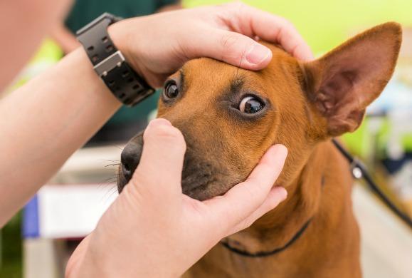 إذا لاحظت أي مشاكل على عيون الكلب قم باستشارة طبيبك البيطري فورا