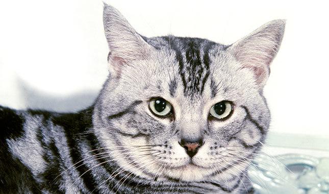 القطة ذات الشعر القصير الأمريكية - American Shorthair