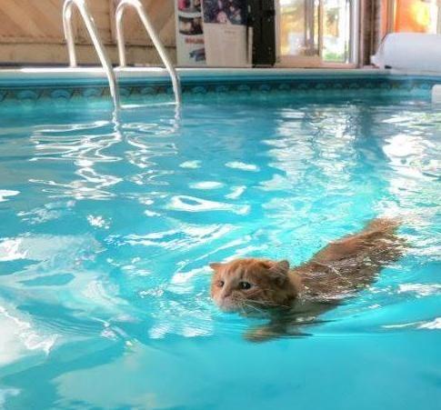 القطط التركية Turkish van cat تشتهر بحبها للمياه والسباحة فيها