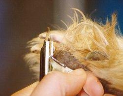تجنب قص المنطقة ذات اللون الوردي في ظفر الكلب فهي تحتوي على شعيرات دموية
