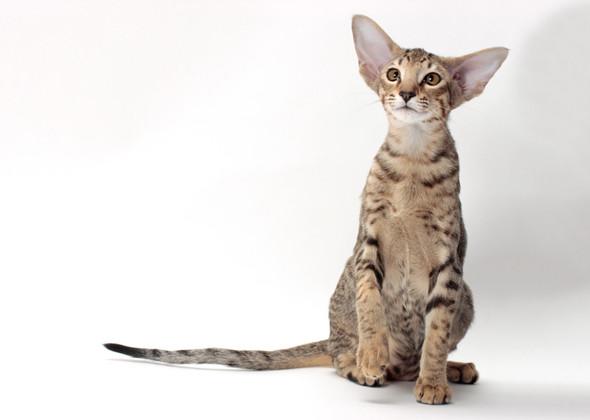 سلالة القطط أورينتال Proud Purrer Cat Oriental