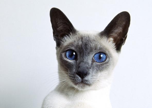 سلالة القطط السيامي أعلى القطط صوتًا Siamese Cat