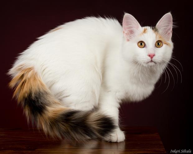 سلالة القط فان التركية - Van cat turkish breed