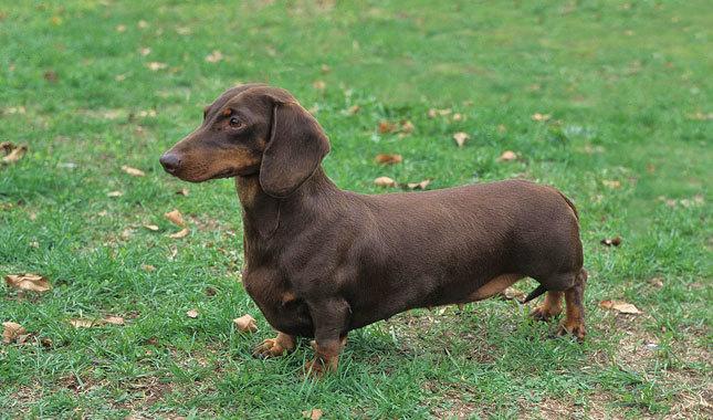 سلالة الكلاب الألمانية Dachshunds