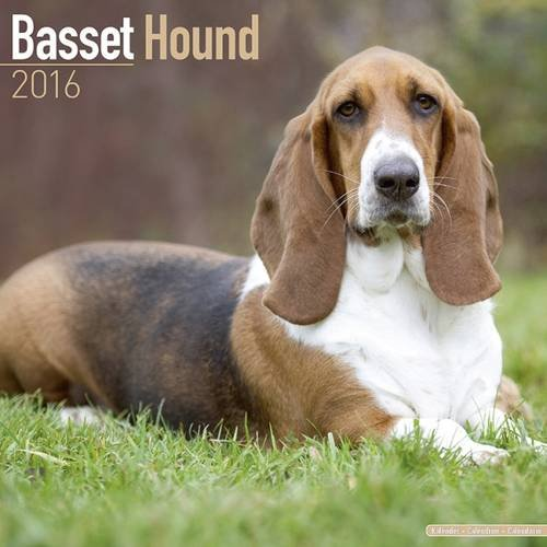 سلالة الكلاب الفرنسية Basset Hound