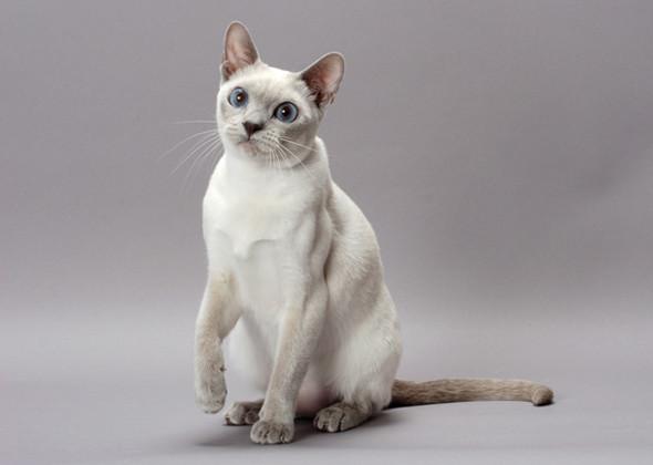 سلالة تونكينيز القط المتكلم العنيد Tonkinese Cat