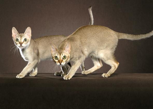 سلالة سينغافورا ذات الجسم الصغير والصوت العالي Singapura Cat