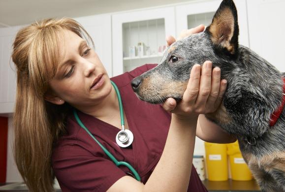مشاكل عيون الكلاب من الأمراض الشائعة في الكلاب في كافة مراحل عمرها