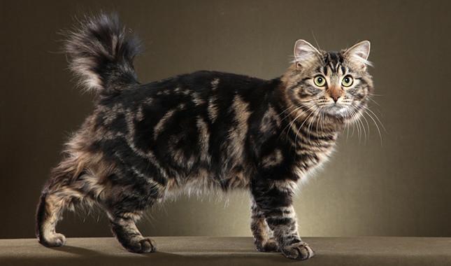 American Bobtail Cat سلالة القطط بوبتيل الامريكية