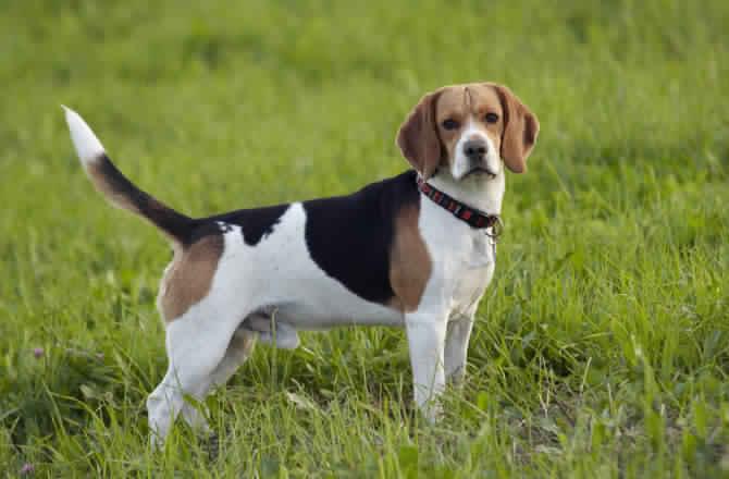 Beagle Dog كلاب البيجل