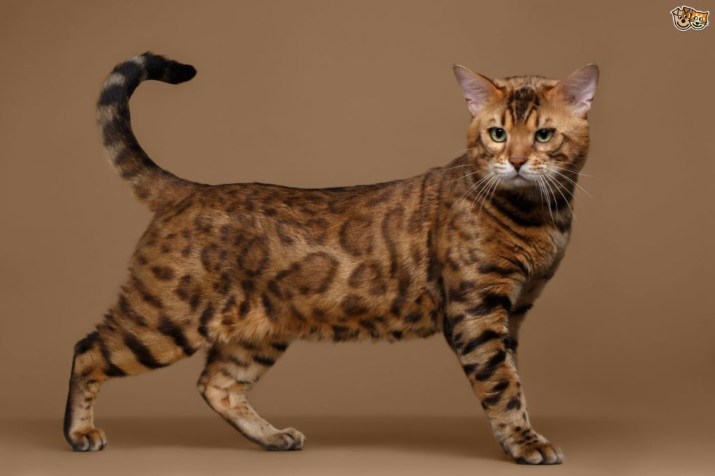 Bengal Cat سلالة قطط البنغال