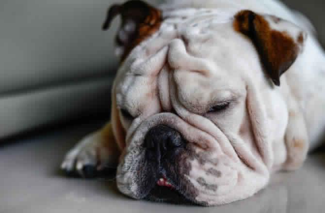 Bulldog سلالة البولدوج