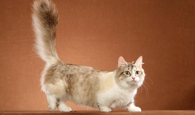 سلالة قطط مونتشكين - Munchkin Cat