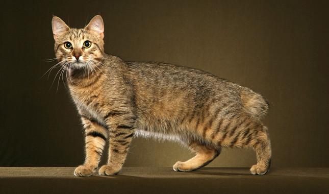 Pixibob سلالة قطط بيكسي بوب
