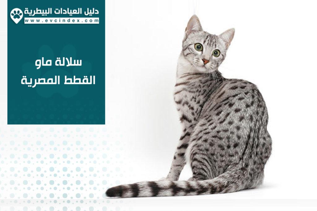 سلالة ماو القطط المصرية