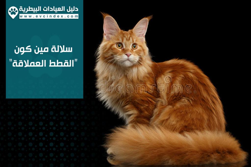 سلالة مين كون القطط العملاقة