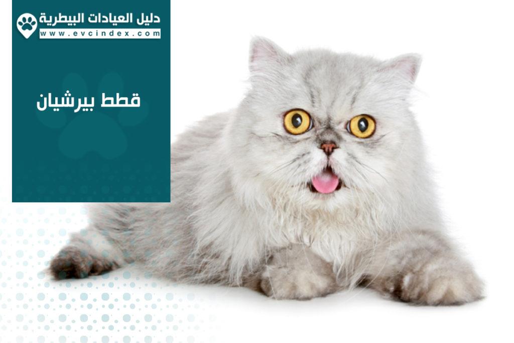 قطط بيرشيان
