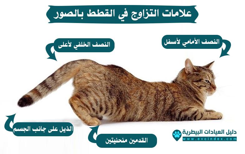 معلومات عن تزاوج القطط الشيرازي والبلدية والسيامي بالصور