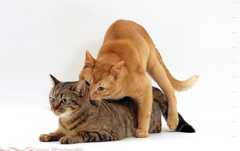 في تزاوج القطط يقوم القط الذكر بالصعود على ظهر القطة من أحد الجانبين وليس من الخلف أو من الأعلى