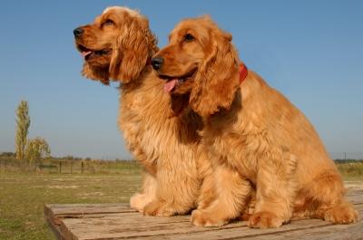 تتميز سلالة كوكر اسباني وورك لاين بأذن قصيرة بالمقارنة بسلالة كوكر اسباني شو لاين