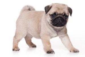 سلالة كلاب الباك (باج) Pug Dog Breed