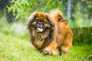 سلالة كلاب بيكينيز أو بيكنواه Pekingese Dog Breed