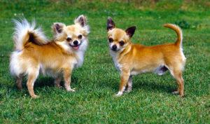 سلالة كلاب شيواوا Chihuahua
