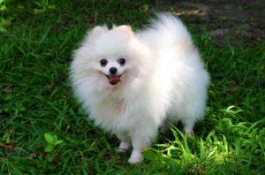 كلب بوميرينيان Pomeranian Dog Breed