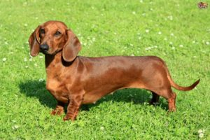 كلب داشنهند Dachshund Dog Breed