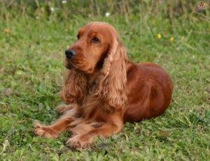 كلب كوكر اسبانيول Cocker Spaniel Dog Breed