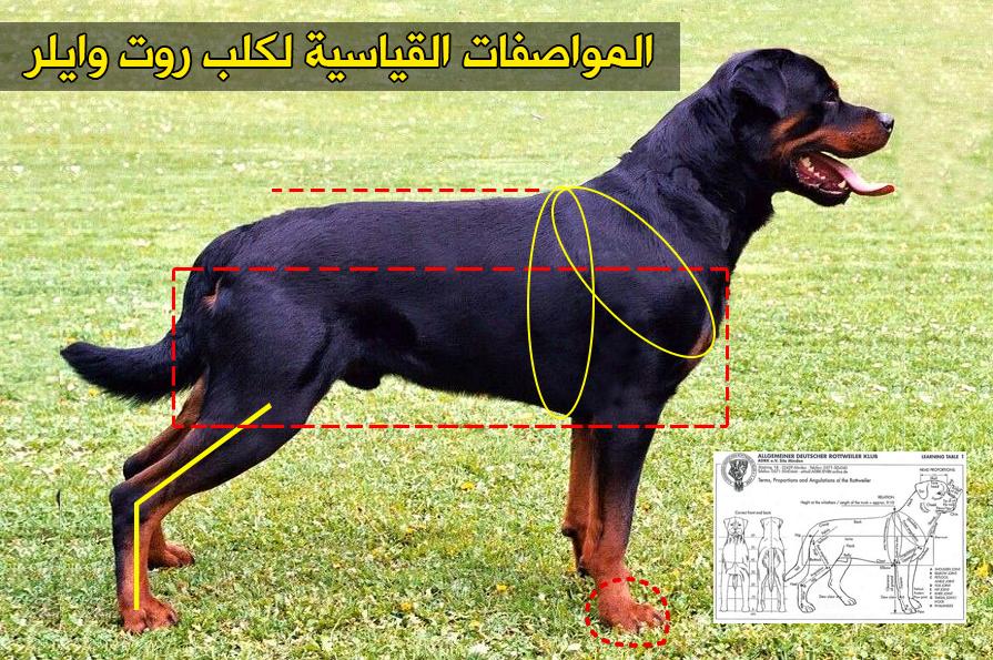 مميزات وعيوب كلاب الروت وايلر ومواصفاته بالصور - دليل العيادات البيطرية ...