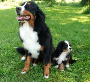 كلاب بيرنيز – Bernese Mountain Dog