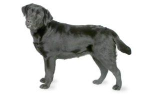 سلالة كلب لابرادور